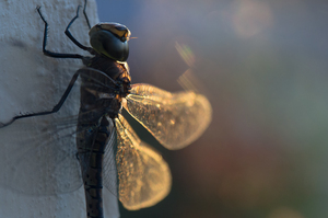 dragon fly at sunset