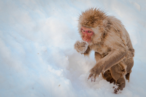 snow monkey my precious
